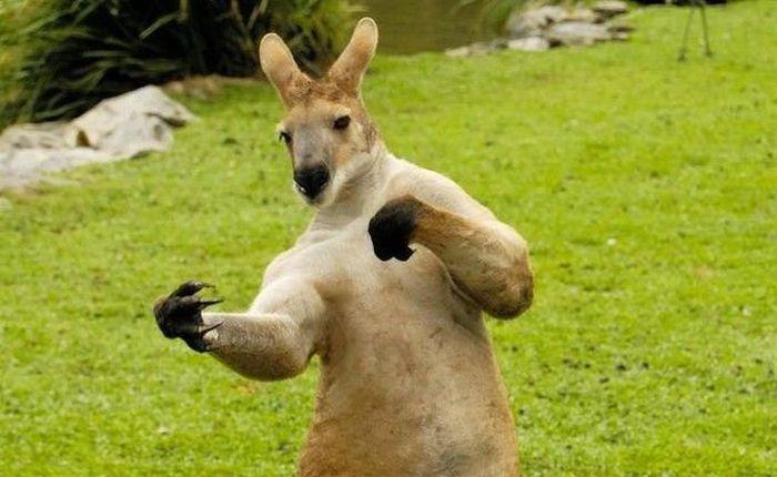 Смешные кенгуру